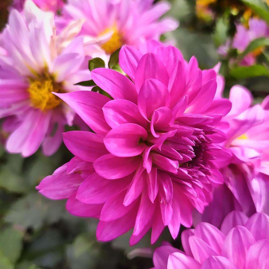 Good Evening Flower Flowerphoto Flowerlover Nature Naturlover Garden Beautiful Chrysanthemum Flower Flower Meanings Mums Flowers