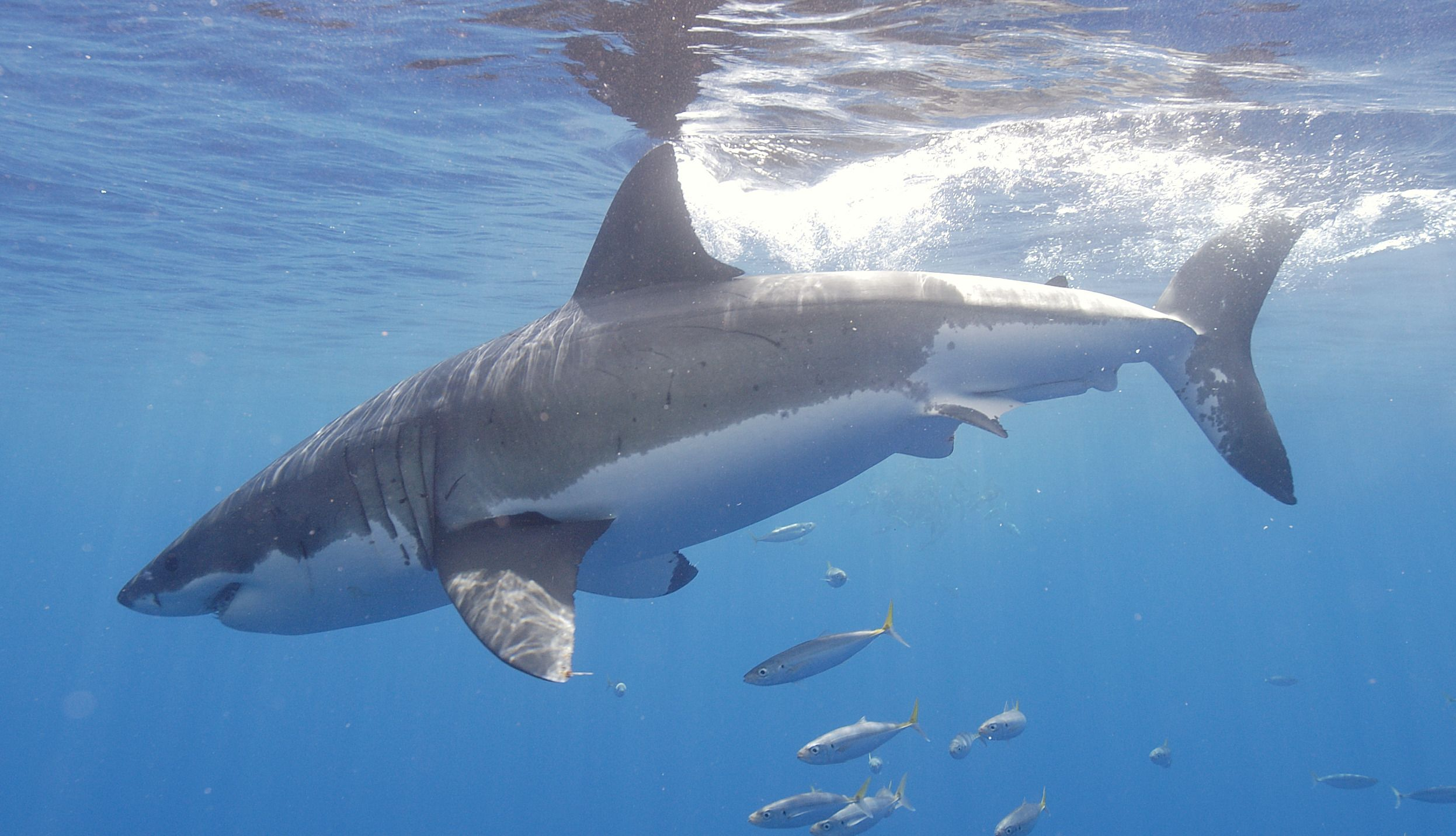 A massive, streamlined body with rows of razor sharp teeth. This is why I'm afraid of the deep ocean :)