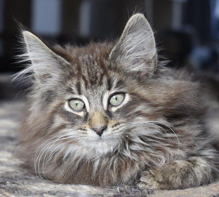 Norwegian Forest Cat Kittens A breeder of Norwegian