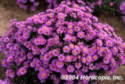 """The Aster 'Woods Purple', Aster x dumosus, is a purple daisy-like flower blooming August through September. With its perfectly clean, compact, dark green, disease resistant and rust free foliage, this plant has a height: 12"""" and a plant spread of 24"""". 'Woods Purple' has emerged in the past few years with superb flowers and longer bloom times.  Aster 'Woods Purple' does require full sun, but can take some afternoon shade, in a moderate soil range with good drainage that does not become…"""