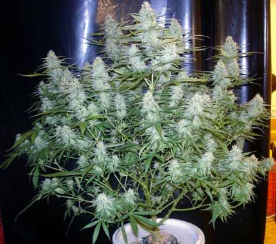 Image result for cannabis plants fat buds