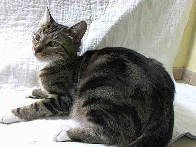 TO BE DESTROYED 5/25/14Manhattan CenterMy name is SASHA. My Animal ID # is A0999877.I am a female blk tabby domestic sh mix. The shelter thinks I am about 2 YEARSI came in the shelter as a OWNER SUR on 05/14/2014 from NY 10457, owner surrender reason stated was DOHREQUEST.MOST RECENT MEDICAL INFORMATION AND WEIGHT05/23/2014 Exam Type RE-EXAM - Medical Rating is 3 C - MAJOR CONDITIONS , Behavior Rating is EXPERIENCE, Weight 7.5 LBS.SND, sneezing A: URI P: doxy 50mg/mL 0.75 po sid x 10 days as…