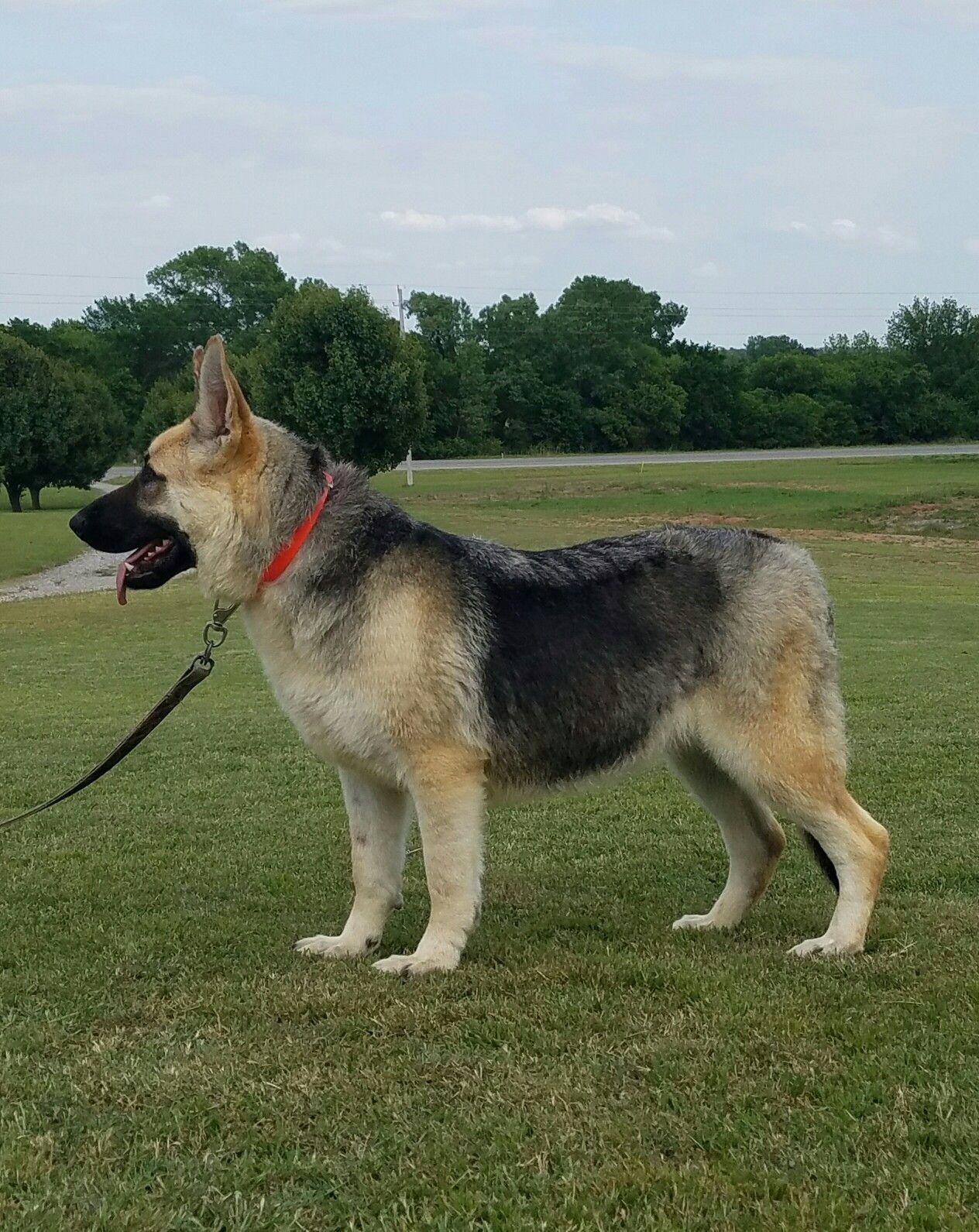 Ayers Legends German Shepherds Presents Corona Corona Is A Large