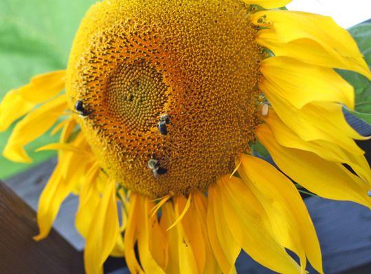 Sunflower and Honey Bees