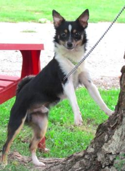 Adopt Ollie Adoption Pending On Papillon Mix Dogs Animals