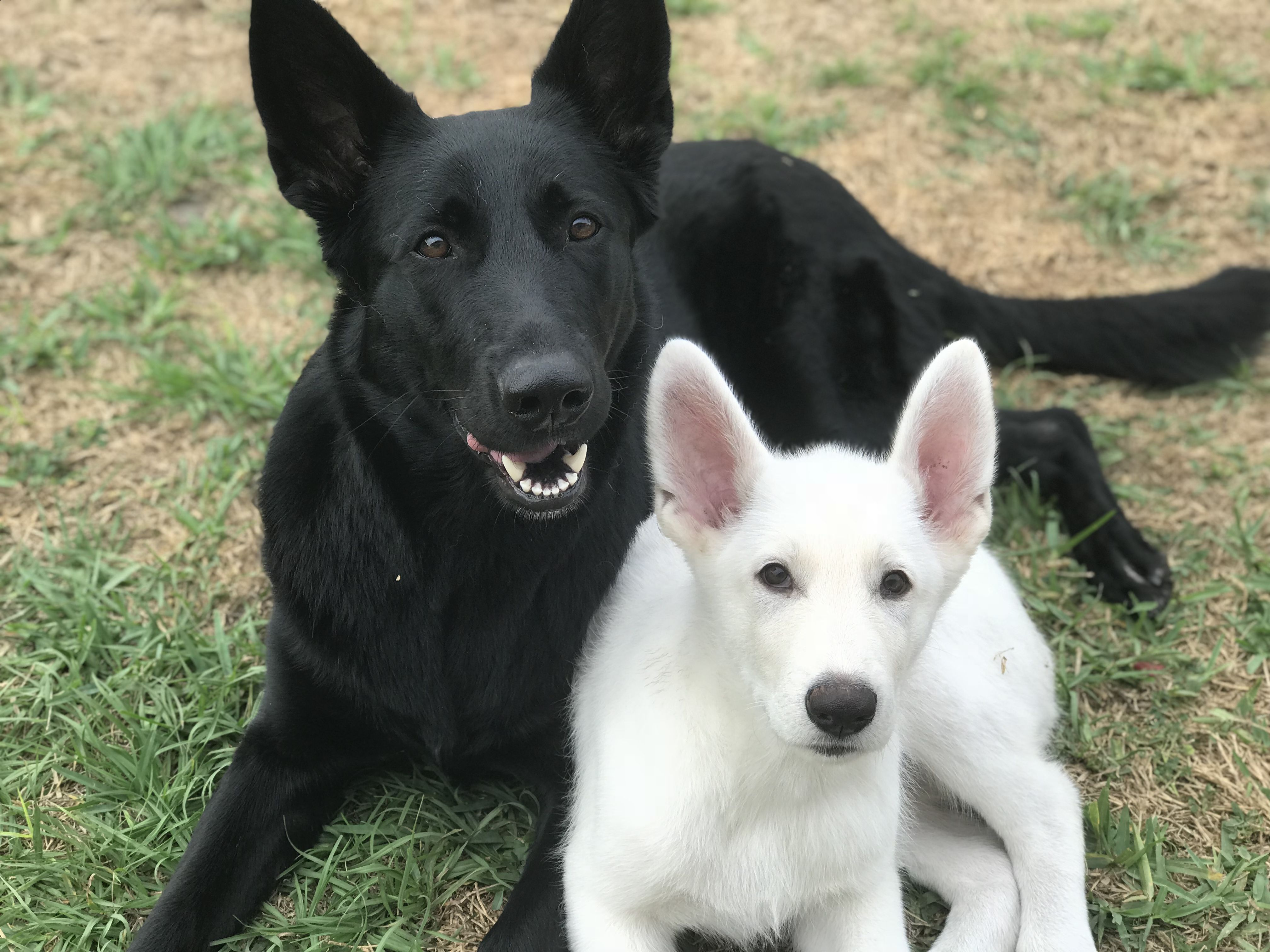 Black And White German Shepherd White German Shepherd Dog Training Tips Dogs