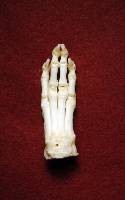 Dog Foot Front Paw Dogs Animal Bones Fossils