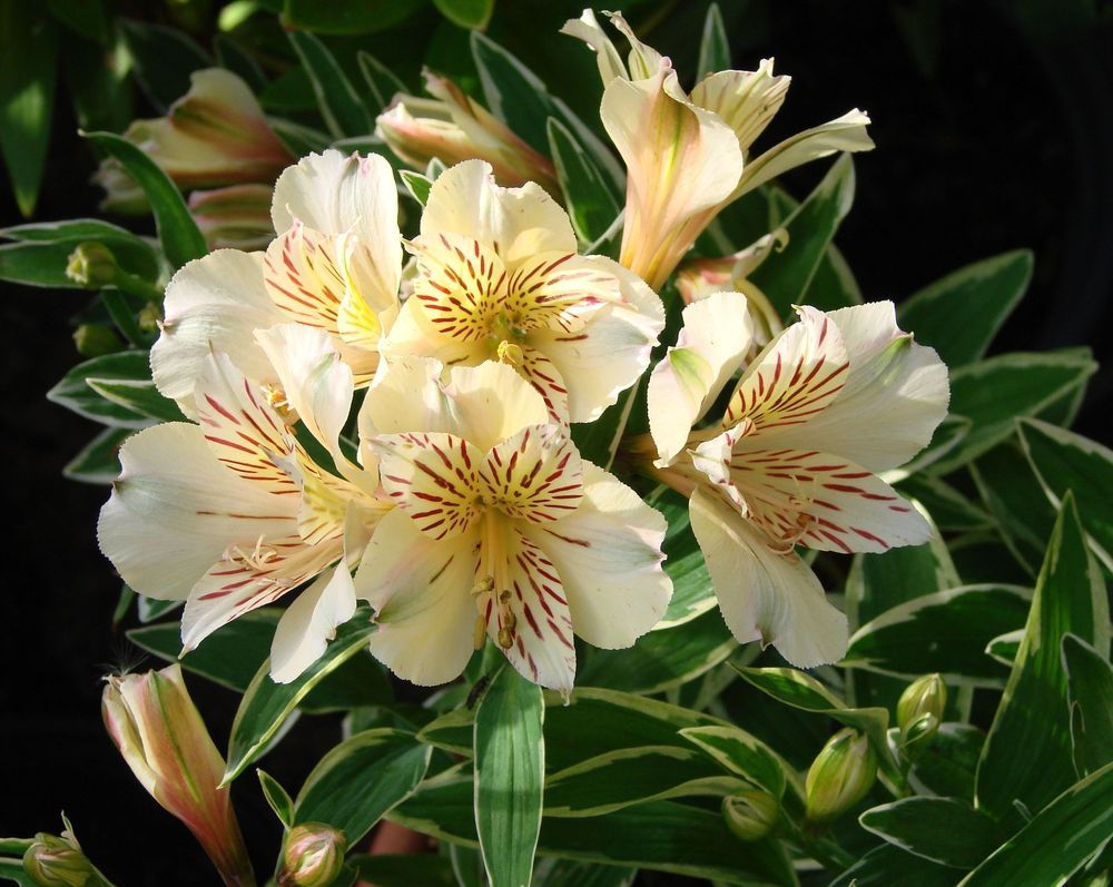 Photo Of Peruvian Lily Alstroemeria Princess Lilies Fabiana