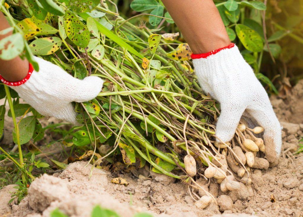 Erdnusse Anbauen Pflegen Ernten Erdnuss Garten Pflanzen Gartentipps