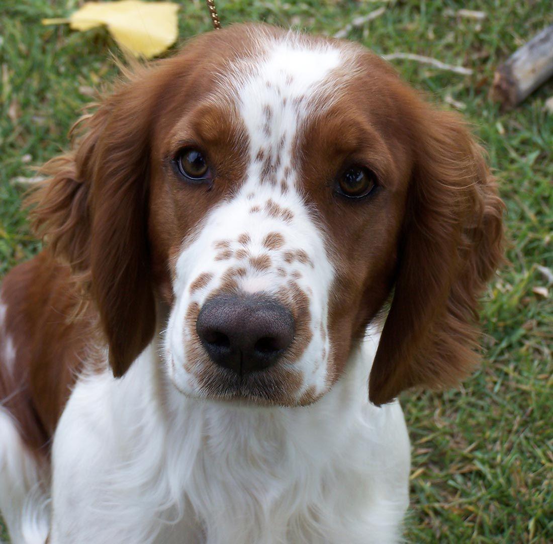 Welsh Springer Spaniel Hundar Husdjur Djur