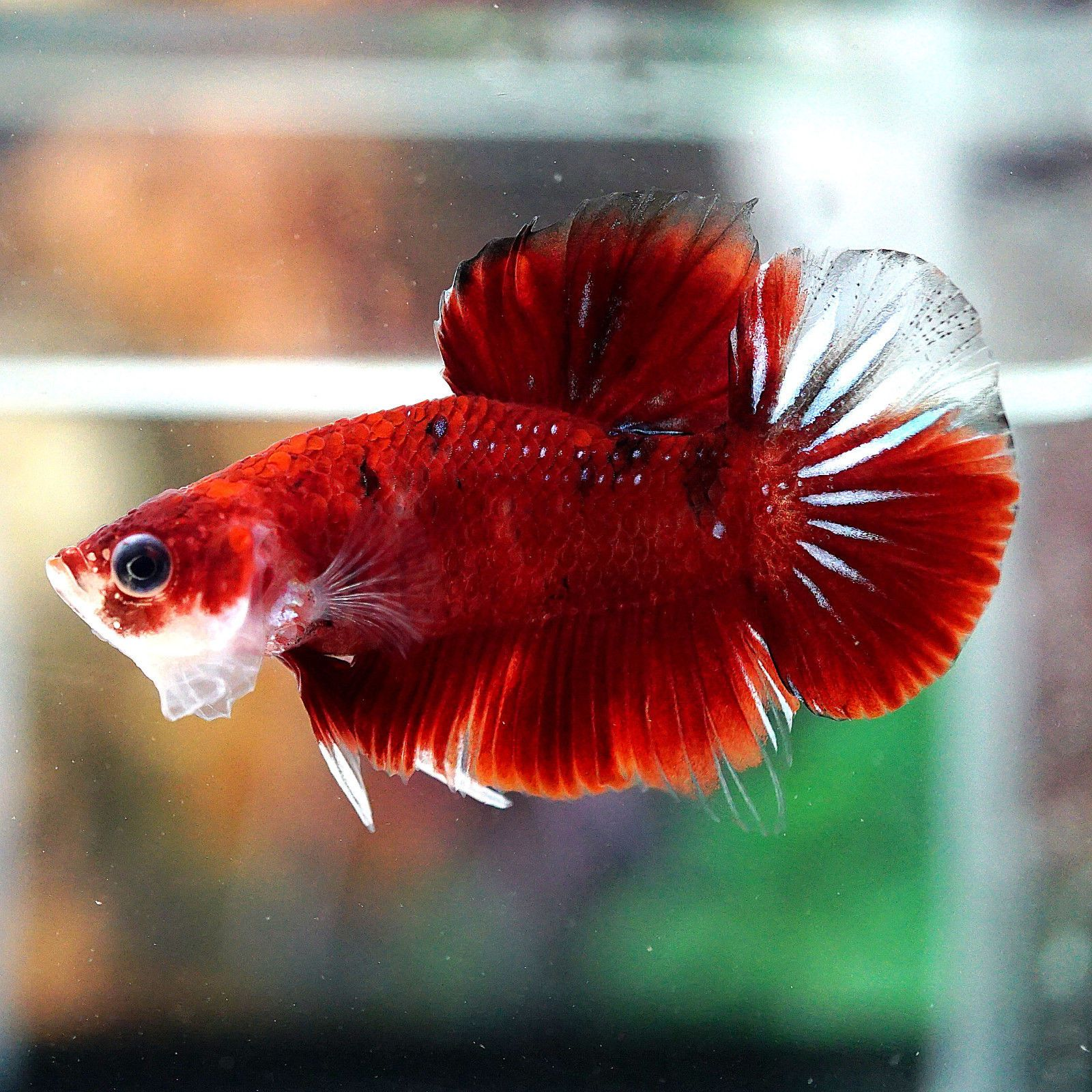 Related image | ปลากัด | Pinterest | Siamese fighting fish, Siamese ...