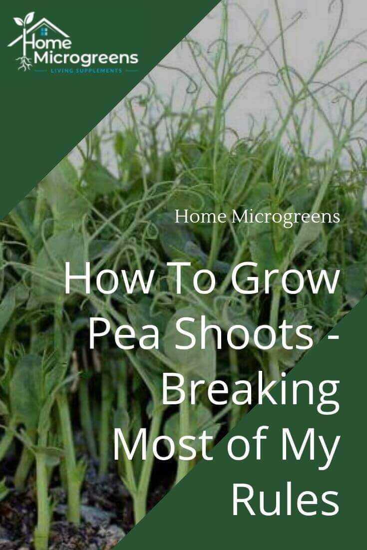 How To Grow Pea Shoots – Breaking Most Of My Rules In 2020 400 x 300