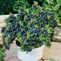 Patio Blueberry Bush Plants Growing Blueberries Veggie Garden