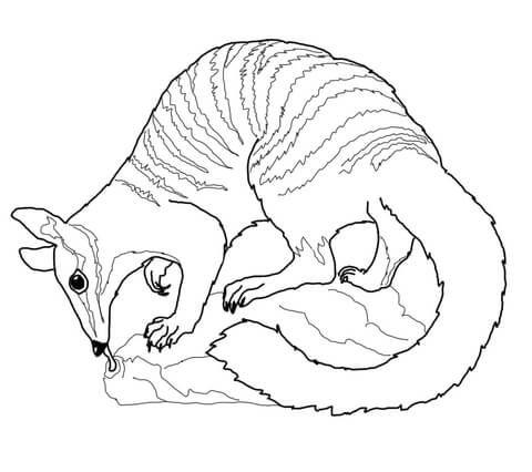 Numbat Dibujo para colorear | animales | Pinterest | Colorear ...