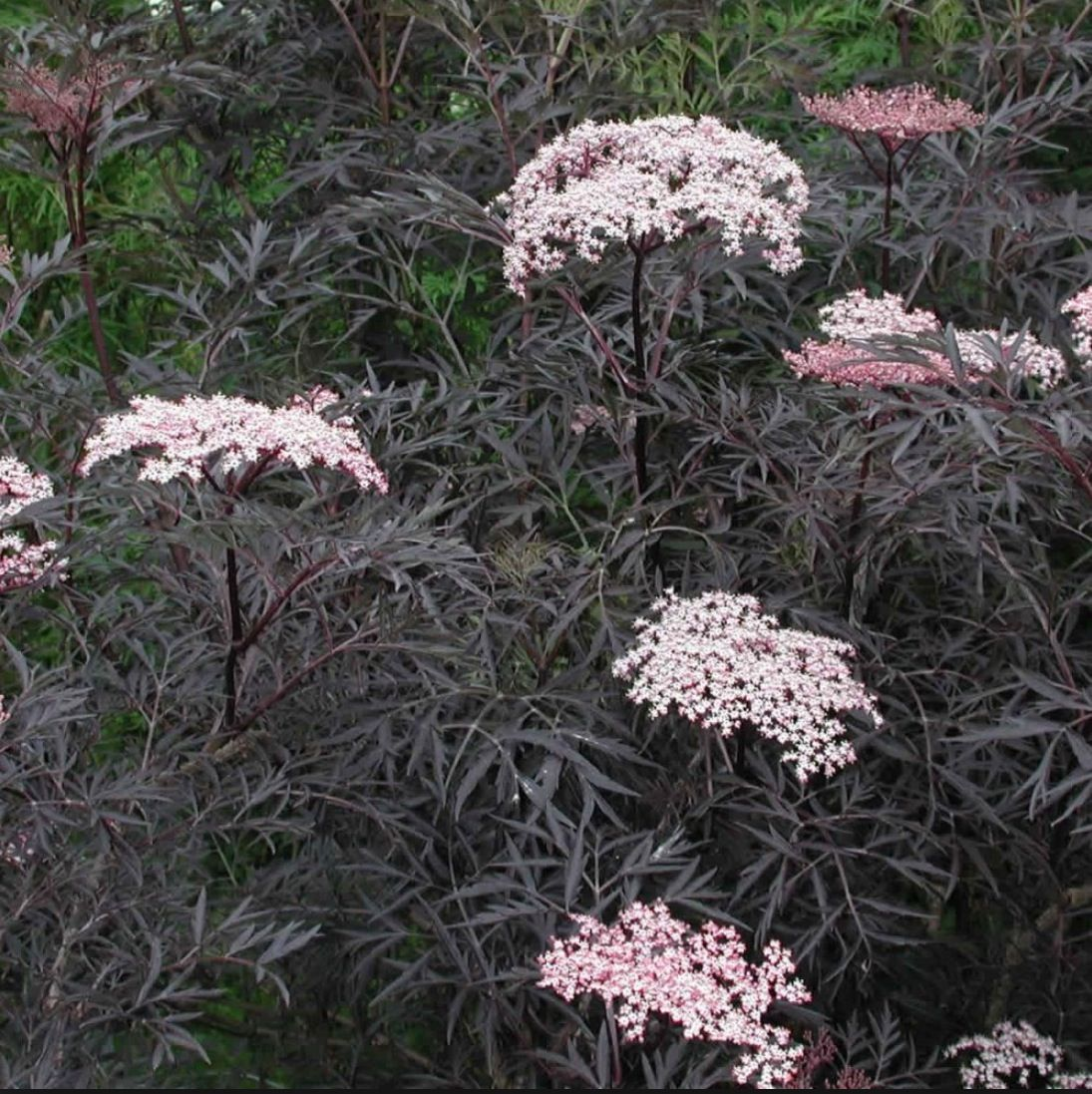 sambucus 39 black lace 39 all of the sambucus are easily propagated by cuttings after some hard. Black Bedroom Furniture Sets. Home Design Ideas