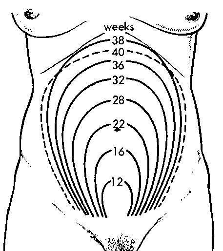 Where Is Uterus Located 15 16 Weeks