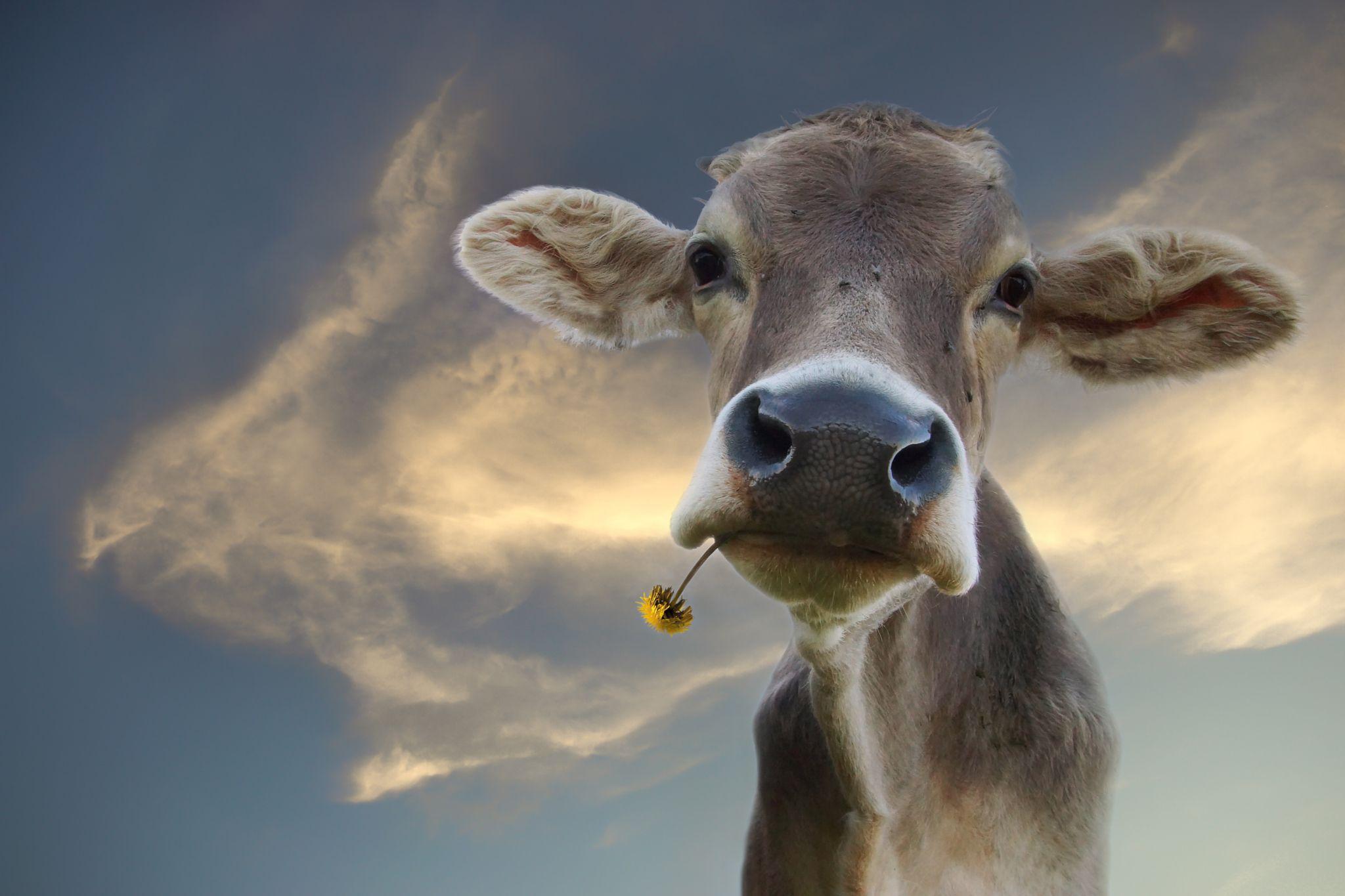 Allgäuer Kuh | Kuh, Kuh zeichnung, Hübsche tiere