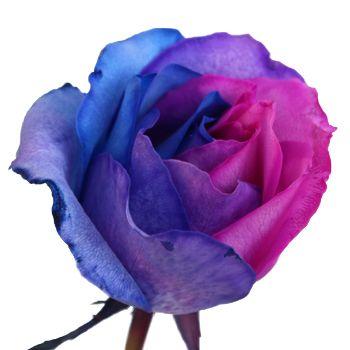 Blue pink and purple rainbow roses purple themed weddings silk blue pink and purple rainbow roses mightylinksfo Choice Image