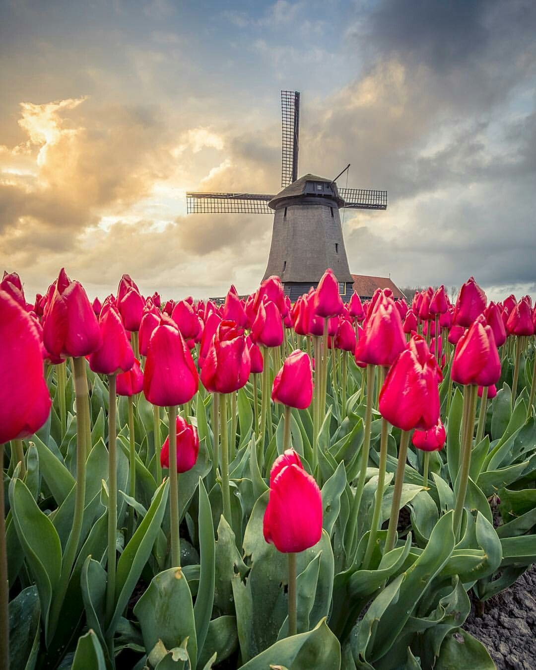 Tulip Field Netherlands Tulip Fields Netherlands Tulip Fields Amsterdam Tulips