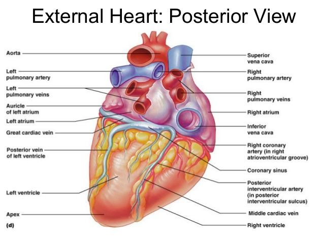 Posterior View Of The Heart Anatomy Pinterest Heart Anatomy