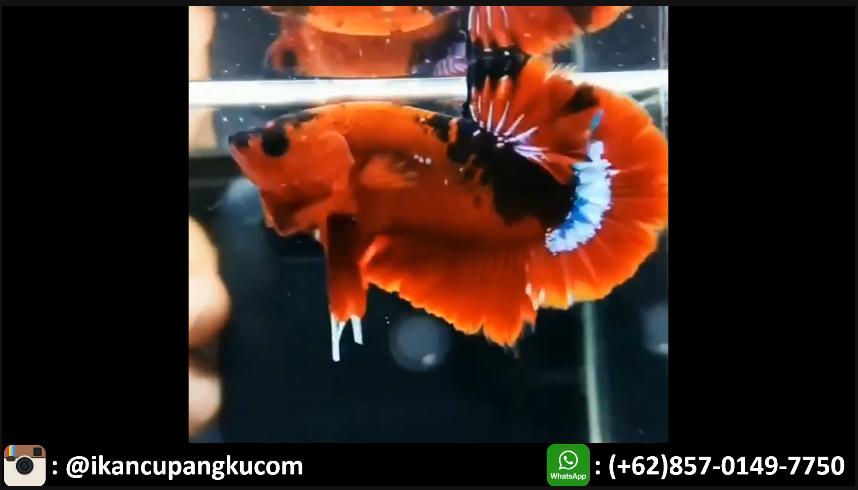 Harga Ikan Cupang Hellboy Ikan Cupang Ikan Jenis