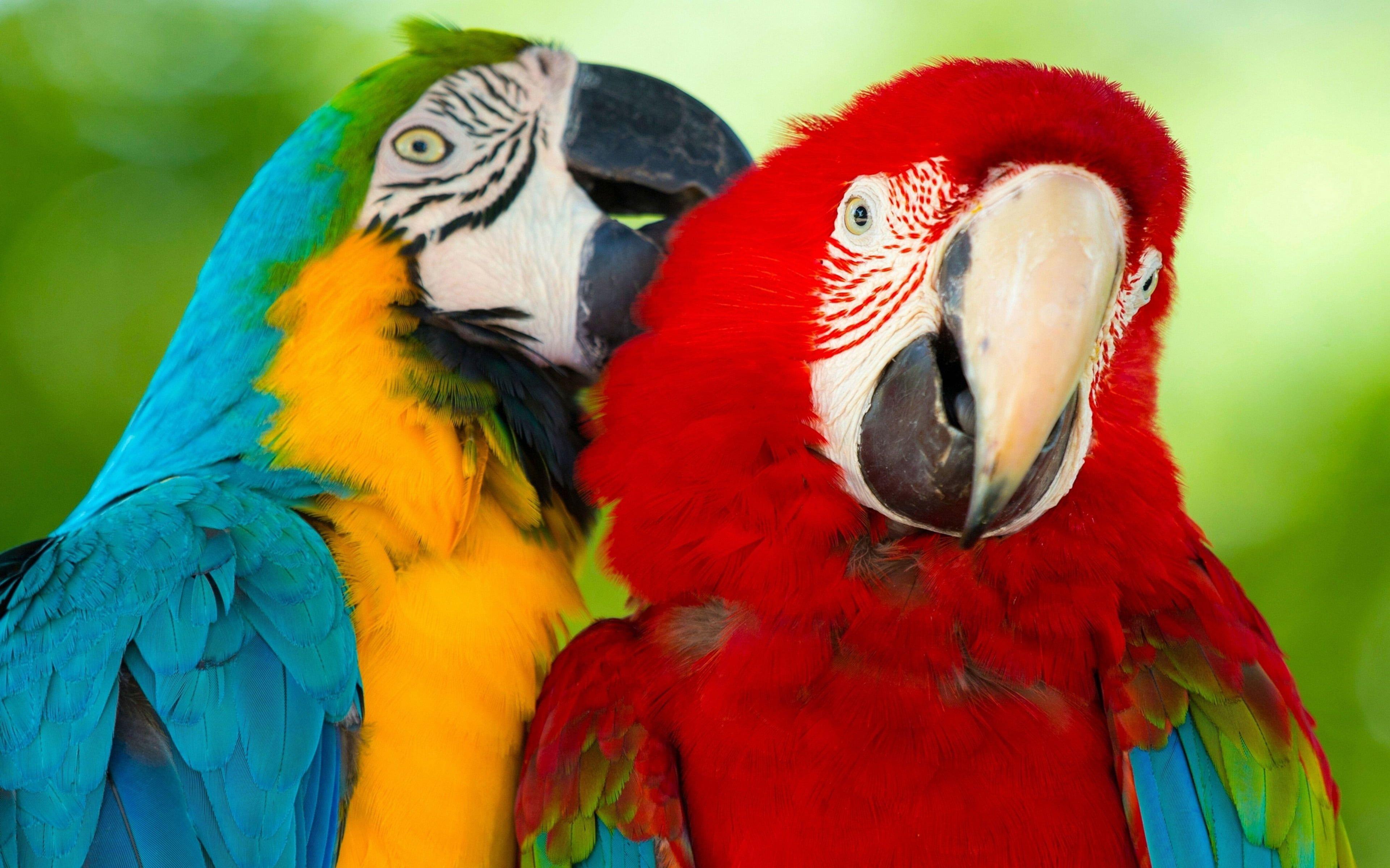Parrot Macaw Bird Hd Wallpaper Background Mobile Phone Laptop 3840 2400 4k Wallpaper Hdwallpaper Desktop In 2021 Parrot Macaw Parrot Images Macaw