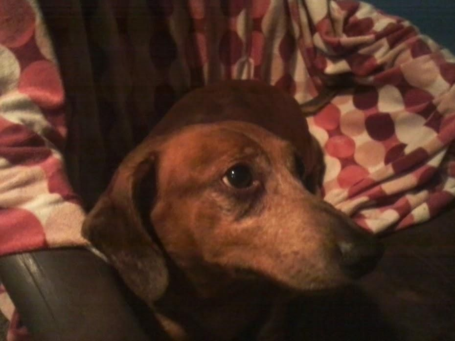 Meet Butchie, an adoptable Dachshund looking for a forever