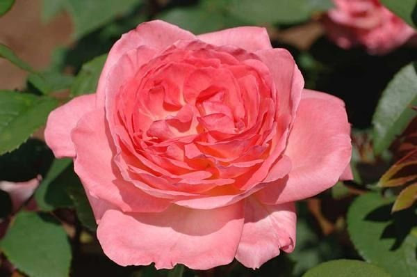 Liv Tyler Meibacus Also Known As Comtesse De Provence Pink Blend Hybrid Tea Rose Strong Fruity Fragrance Meilland Hybrid Tea Roses Rose Flowers