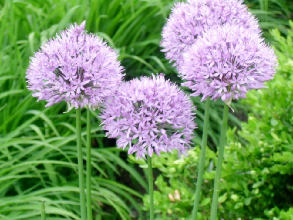 Unless your border includes shrubs, annuals and perennials can make it appear low and squat. One way to give your border height is to incorporate plants that are spiky. Here are a few annuals and perennials to consider.