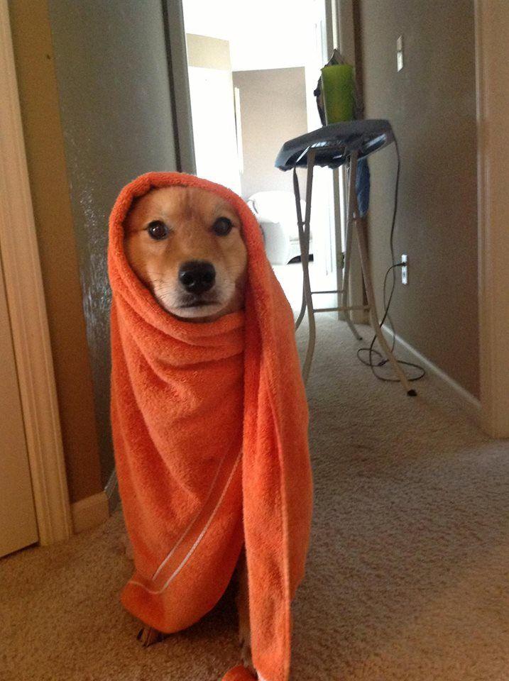 PsBattle: Dog Gigi in shawl.