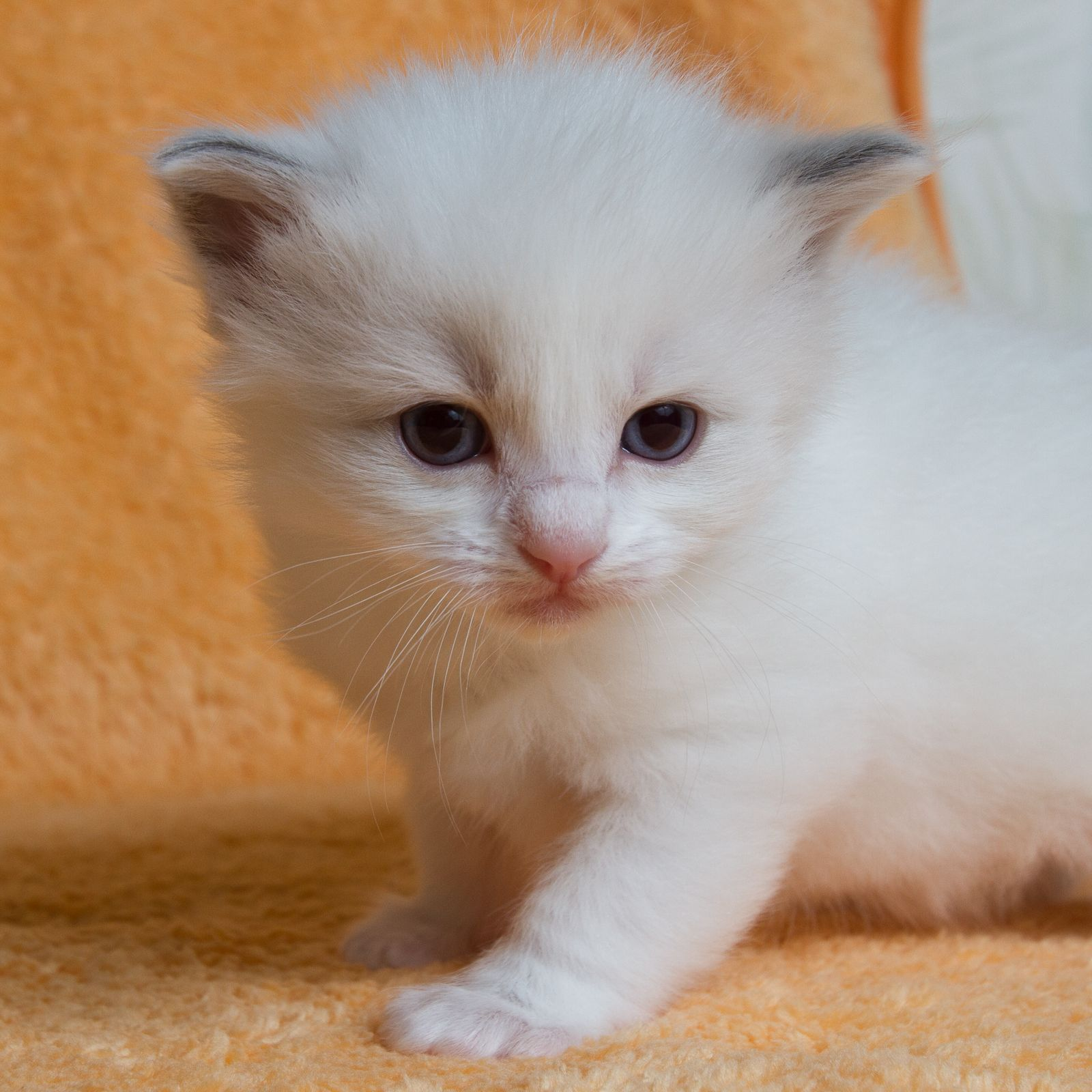 2013 Tsu Tey A Zwollywood Cat 3 Weeks Old Ragdoll Kitten Blue Bicolour Avatar Litter Pretty Cats Funny Cat Faces Dog Cat