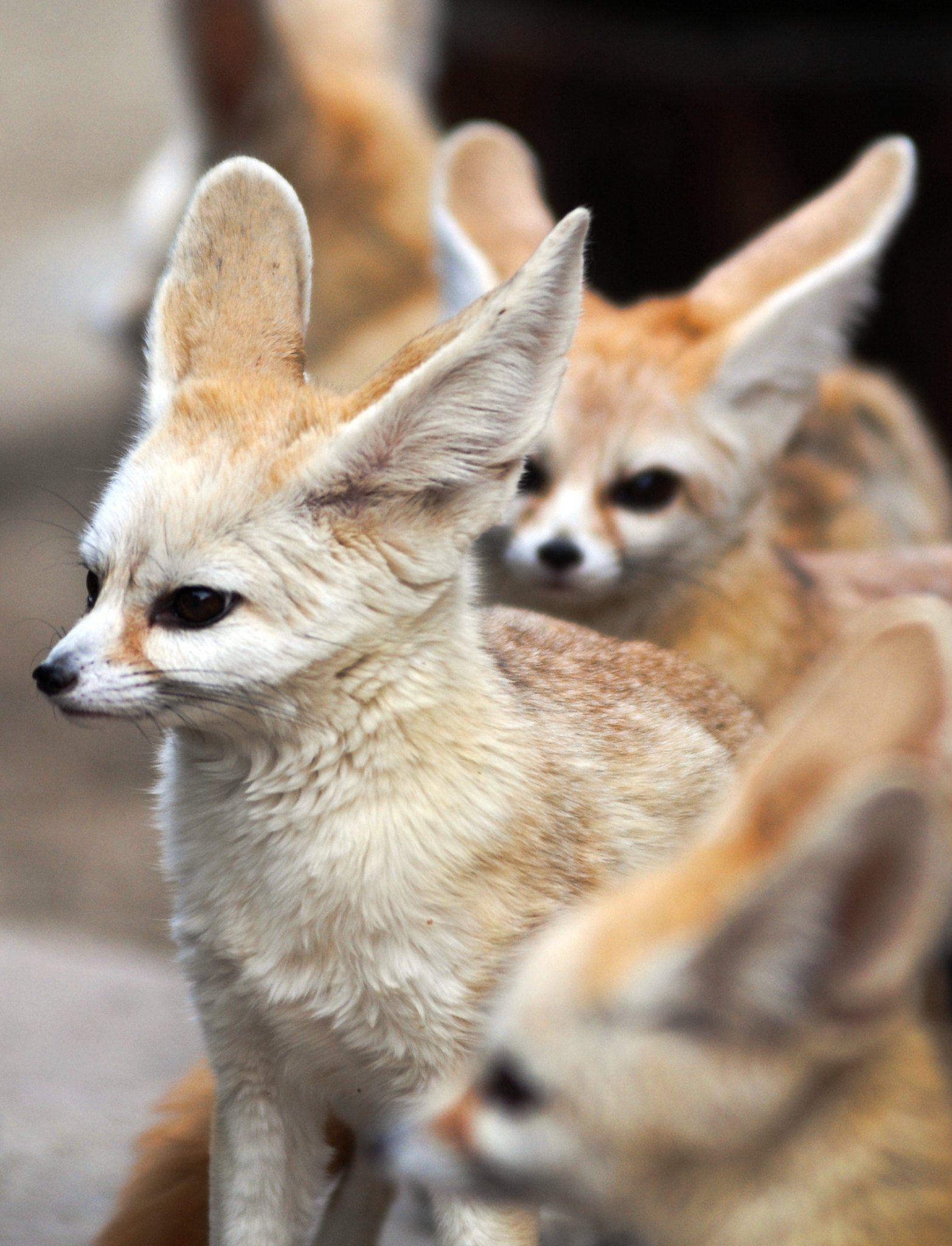 Fennec Fox In