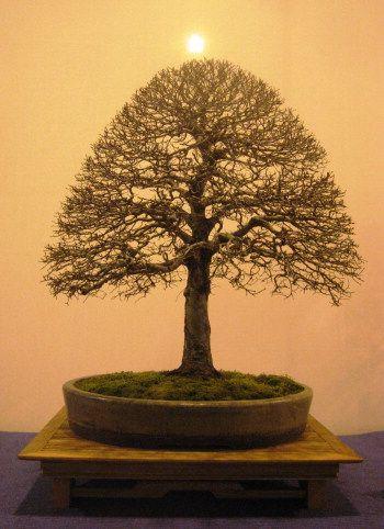 Siberian Elm Bonsai Elm Bonsai Bonsai Tree Potted Trees