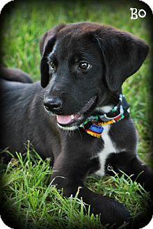 Great Dane Lab Mix Dogs Great Dane Labrador Retriever Mix Puppy