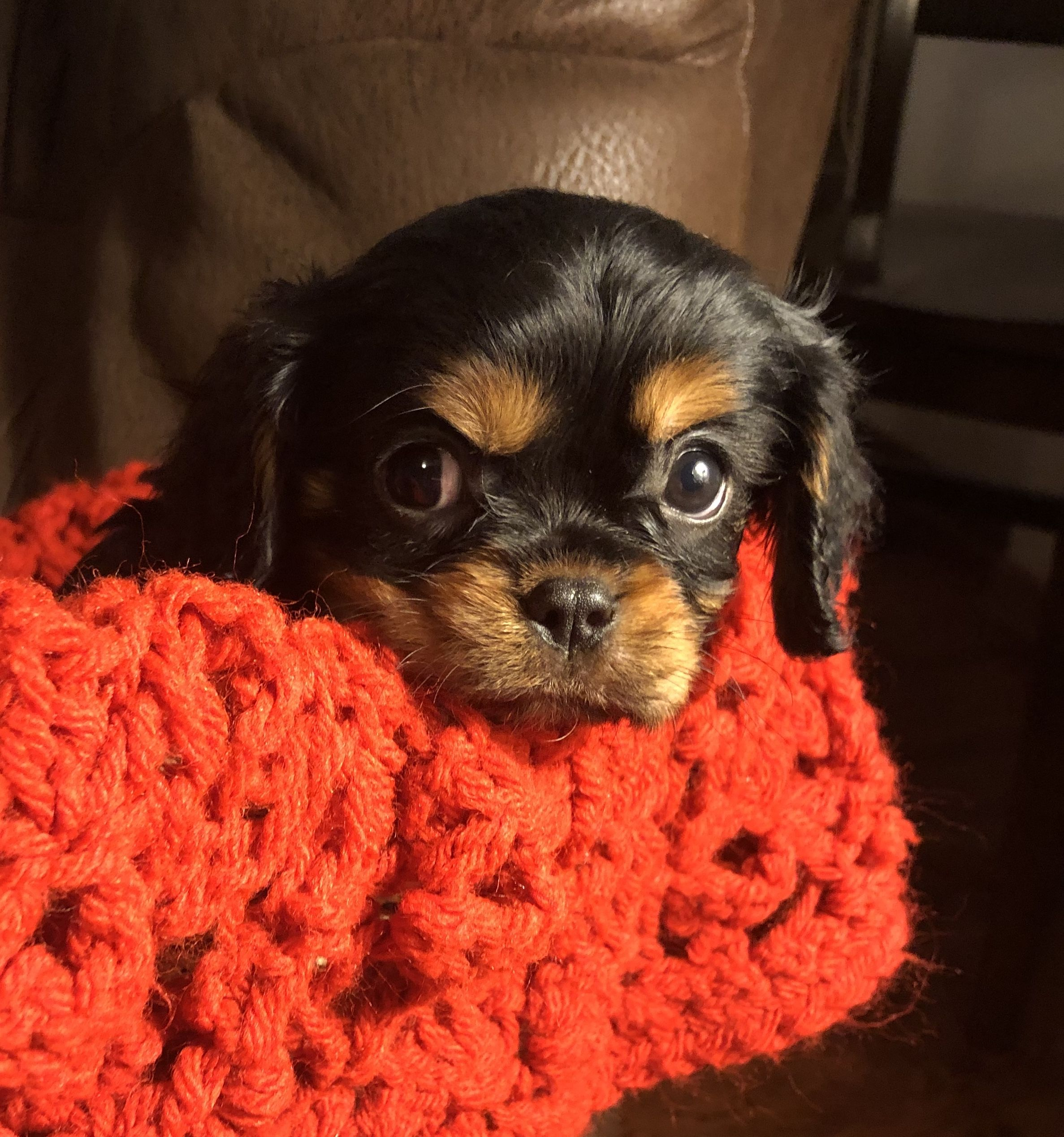Carter Male Akc Cavalier King Charles Spaniel Puppy For Sale In