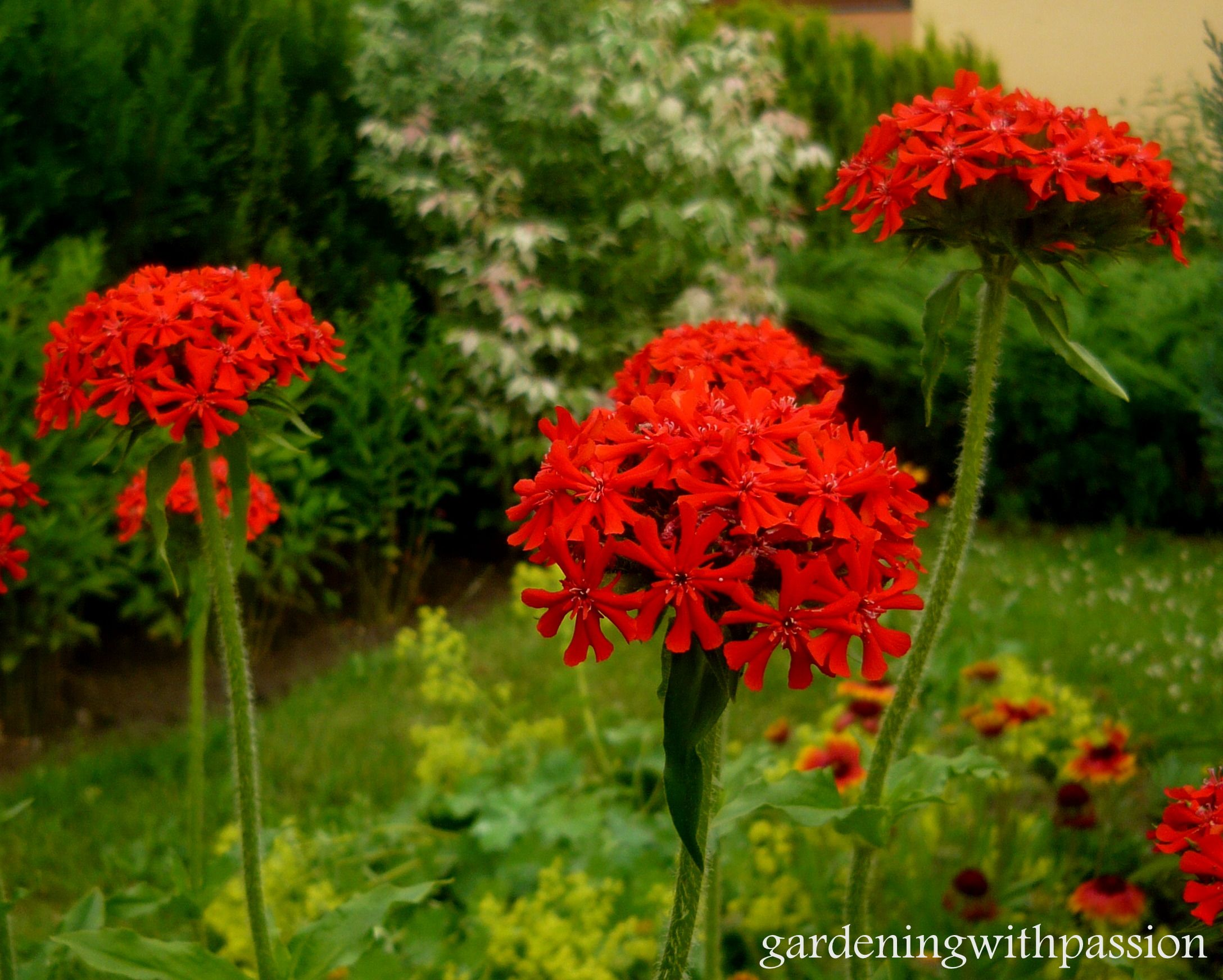 Lychnis Chalcedonica Maltese Cross Jerusalem Cross Plants