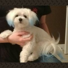 Cute Dog Haircuts For Maltese Poodle Boys Google Search Dog
