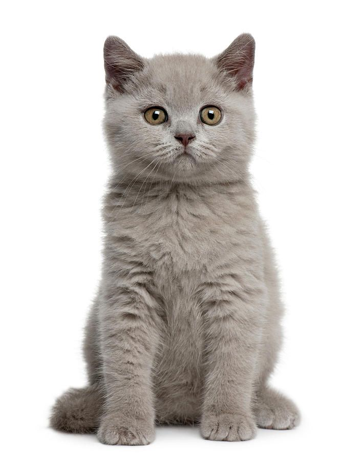 British Shorthair Kitten By Life On White Evcil Hayvanlar Kedi