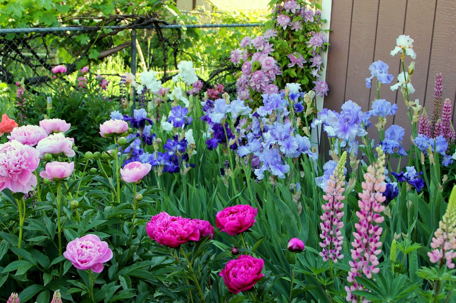 World of irises the blue iris garden planting a monochromatic world of irises the blue iris garden planting a monochromatic tall bearded iris bed izmirmasajfo