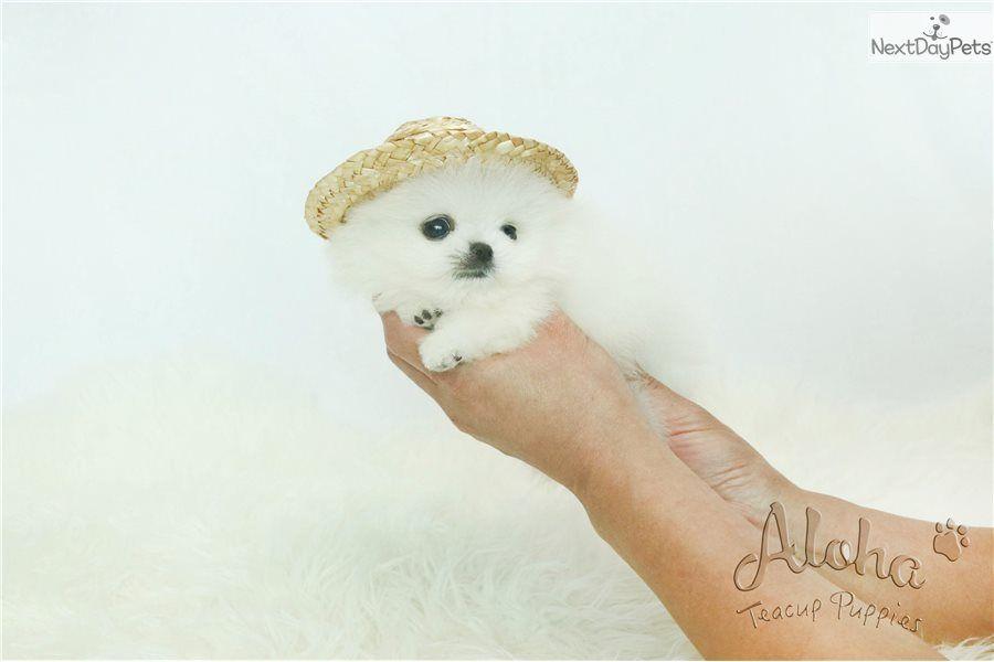 Pin By Retha Gadus On Pomeranians Pom Dog Cute Animals Animals