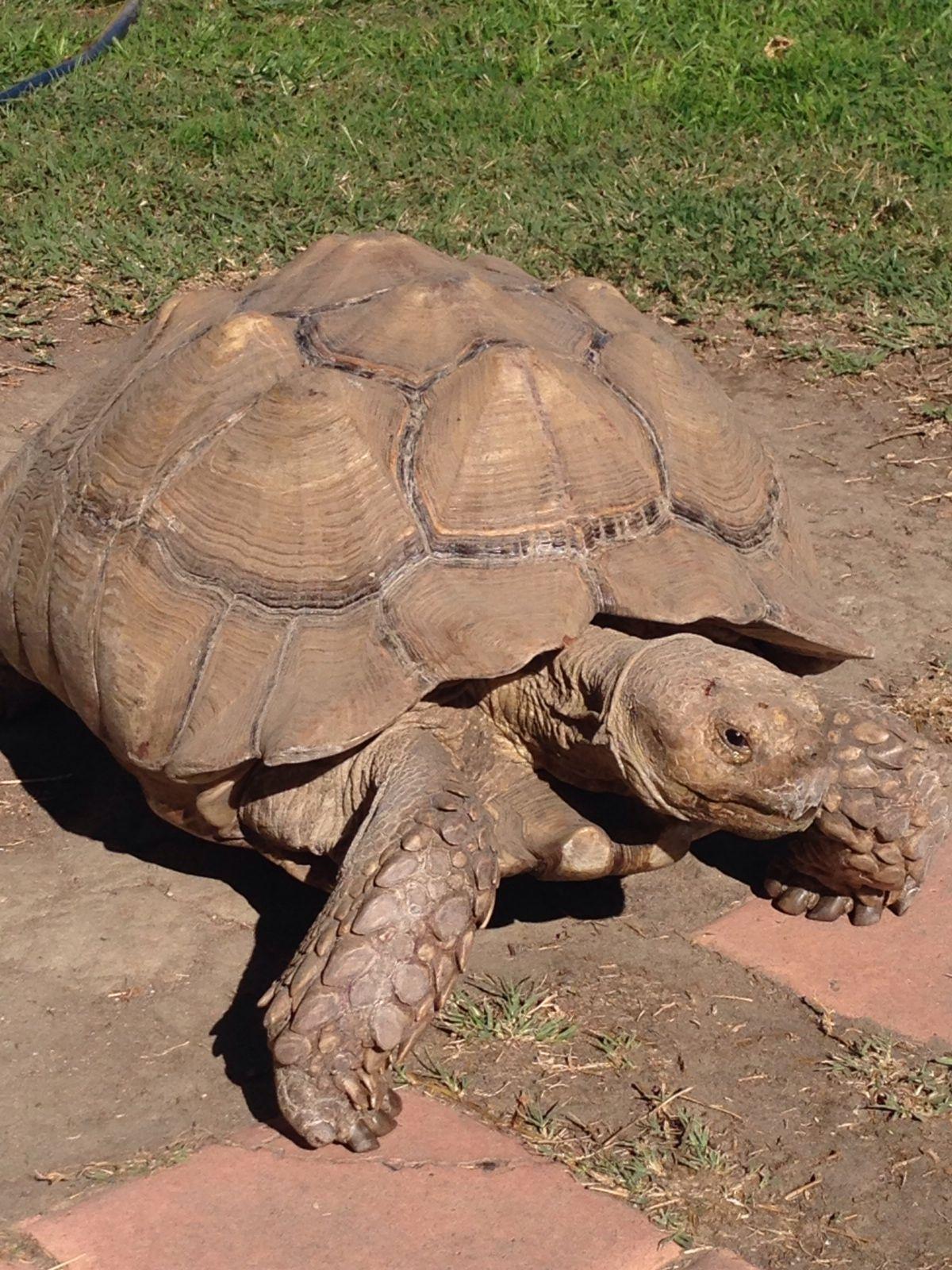 Kingsley the Sulcata tortoise