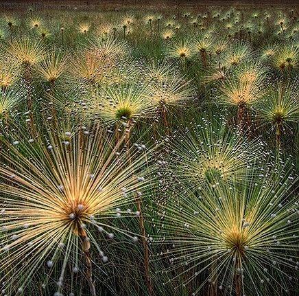 paepalanthus wild flowers by marcio cabral