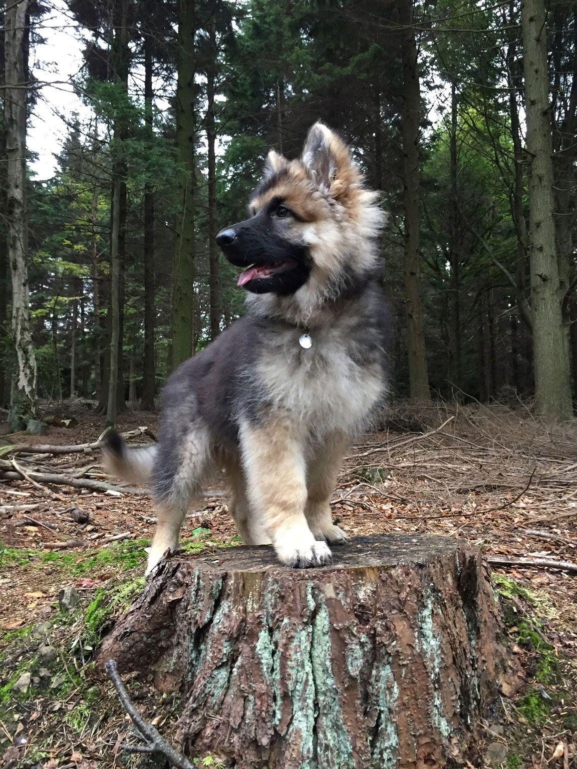 Majestic Vonthurlow German Shepherd Hunter Puppy Shepherd