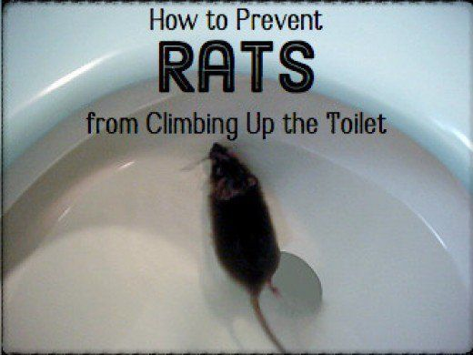 How To Deal With A Rat Swimming Up The Toilet Bowl Toilet Bowl