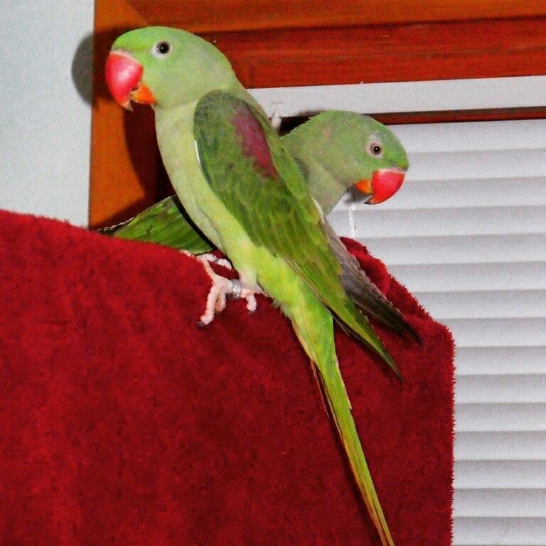 #Alexandrine parrots couple posing after some training exercises :-)