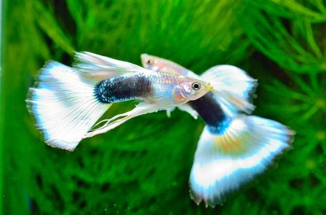 5 Reasons Why Guppies Are The Perfect Pet Guppy Guppy Fish Fish