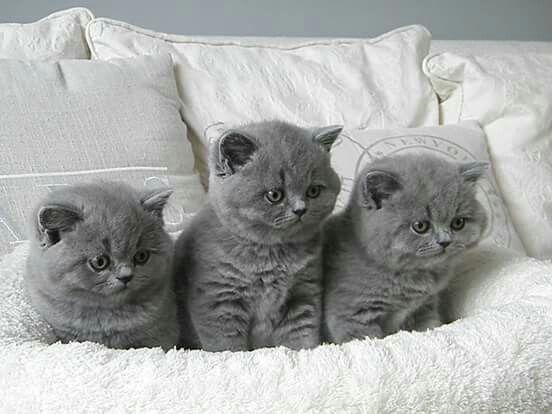 Ahhhh Triplets Kittens Cutest British Shorthair Kittens Kittens