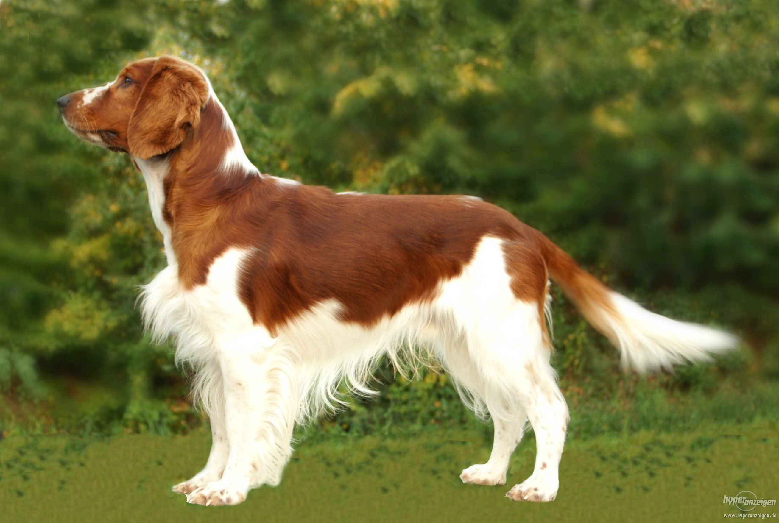 #WellPets The breed of Welsh Springer Spaniel is active, a loyal and loving temperament, making it an ideal part of the family as well as an excellent hunting companion.