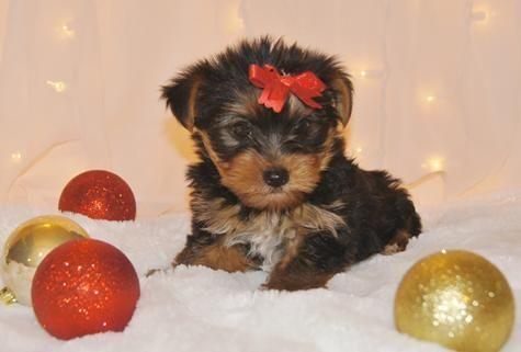 Beautiful Yorkie Baby Christmas Puppy Yorkshire Terrier Yorkie Puppy Yorkshire Terrier Yorkie Puppy For Sale