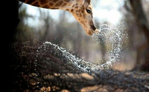 Giraffe at watering hole at Melorani Safaris at Olifantsvallei